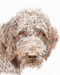 doodle doo labradoodles 93 best labradoodle images on doggies dogs and care