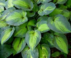Fragrant Shade Plants - fragrant bouquet u0027 is the 1998 hosta of the year and has fragrant
