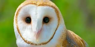 Where Does The Barn Owl Live Learn To Identify Five Owls By Their Calls Audubon