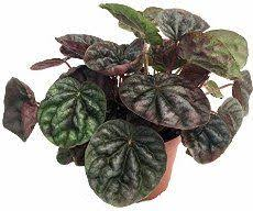 prayer peperomia 4 peperomias pinterest plant pictures and