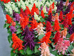 salvia flower scarlet salvia salvia splendens calyx flowers inc