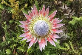 protea flower protea flower meaning flower meaning