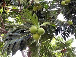 cuisiner le fruit de l arbre à purée de fruit à recette de cuisine créole la réunion