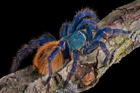 gooty sapphire ornamental tree spider spiders