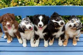 australian shepherd rescue san diego and friends group of australian shepherd puppies very cute smart loving