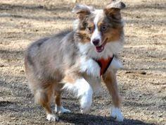 rockin b miniature australian shepherd via the daily puppy puppy breed australian shepherd arthur is