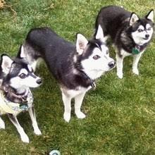 american eskimo dog for sale in colorado alaskan klee kai puppies for sale