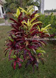 native plants uk croton