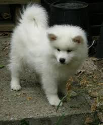 american eskimo dog new zealand american eskimo american eskimo dog sell the american to