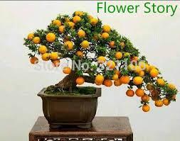 20 mini potted edible orange bonsai seeds fragrant ornamental