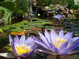water lilies and ponds koi pond water lilies pinterest