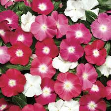 vinca flowers pacifica halo mix vinca flower seeds