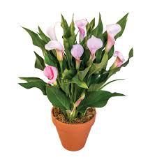 callafornia callas zantedeschia hybrid calla lily bulb source