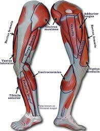 Anatomy And Physiology Human Body 12 Best Anatomy Pins Images On Pinterest Anatomy Muscles And