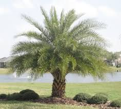sylvester palm tree price silver date palm trees sylvestris sugar date