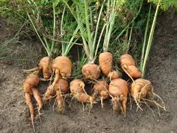 growing carrots how to seed germinate grow u0026 harvest the