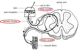 Pain Reflex Pathway Simple Reflex Arc Biology Notes For Igcse 2014