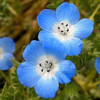 california blue california poppy seeds eschscholzia californica annual flower seeds