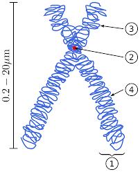 chromosome wikipedia