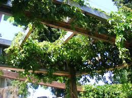 deck trellis year 3 virginia creeper and grape vines man made