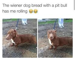 Wiener Dog Meme - the wiener dog bread with a pit bull has me rolling meme on sizzle