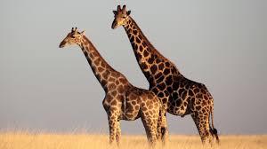 giraffes mammals animals eden channel