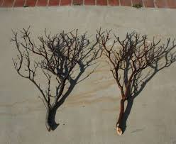 tree branches for centerpieces manzanita branches trees for centerpieces or wishing trees the