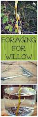 native american plants used for healing willow is a great medicinal and very useful plant you can even