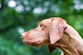 Living With A Blind Dog Vizsla Dog Breed Information Pictures Characteristics U0026 Facts