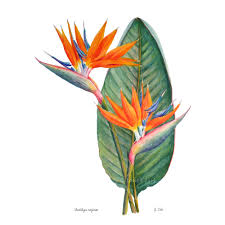bird of paradise flower bird of paradise flower botanical print strelitzia reginae
