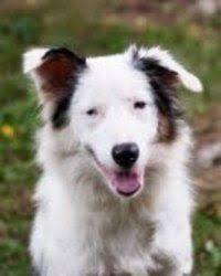 australian shepherd san diego mini aussie puppies boca raton fl for sale only at puppyplusinc