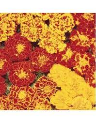 Flower Seeds Online - marigold guljafri flower seeds online in india chhajedgarden com