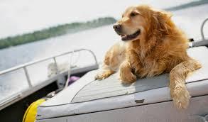 Comfort Retrievers Golden Retriever Comfort Canine