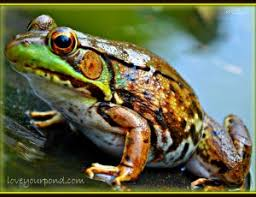 Frog Pond Backyard Frogs And Backyard Water Garden Ponds Full Service Aquatics