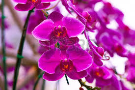 pink orchids beautiful pink orchids flowers in the field stock photo picture