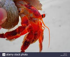 close up of person holding hermit crab stock photo royalty free