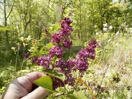 Lilacs We Sell At Azalea House Flowering Shrub Farm