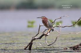 bird of the day green heron birding pictures