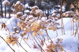 how to care for hydrangeas in winter diy network blog made