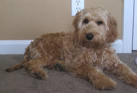 labradoodle hairstyles australian labradoodle puppies are here ashford manor labradoodles