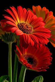 best 25 gerbera flower pictures ideas on pinterest gerbera