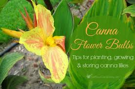 canna lilies flower bulbs tips for planting growing and storing canna lilies