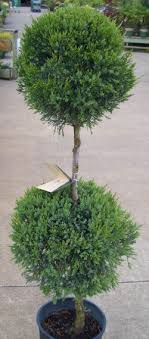 shrub photos of topiary spirals pom poms and shrubs in