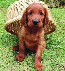 types of setter dog breeds irish setter dog breed information pictures more