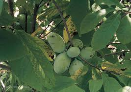 where to buy native plants pawpaws edible landscaping