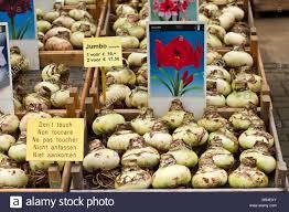 amaryllis bulbs on sale at amsterdam flower market