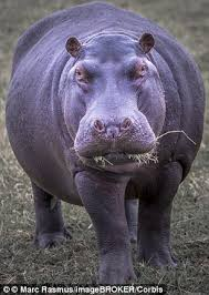 si e social hippopotamus how hippos are related to whales fossils of 28 million year