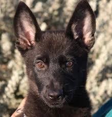 australian shepherd las vegas black german shepherd puppy in las vegas zauberberg trained