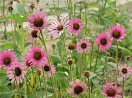 echinacea flower echinacea tennesseensis baker creek heirloom seeds