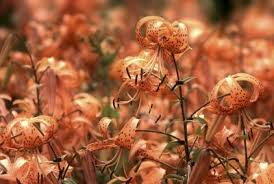 How To Save A Dying Plant Transplanting Tiger Lily Bulbs U2013 When Should I Transplant Tiger Lilies